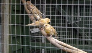 Tornado wire Aviary-fencing-1-556x323